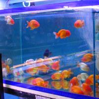 熱帯の金魚