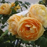 ご近所の5月の薔薇から