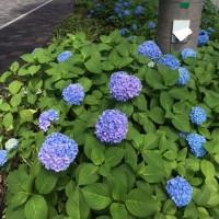 初夏の京都 ~ 御池通りのアジサイ