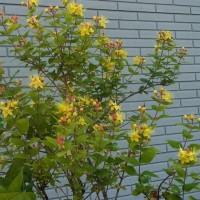 コボウズオトギリに花が咲き、赤い果実が付いている