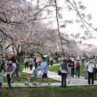 展勝地の桜