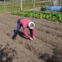 玉ネギ苗を植える