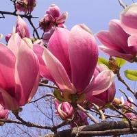 季節の花「木蓮(もくれん)」