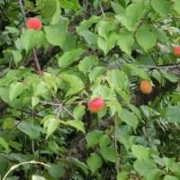 ミニバラ ~ 梅の実