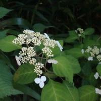 我が家の草木花