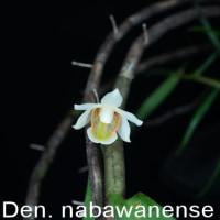 デンドロビウム・ナバワネンセ(Den. nabawanense)