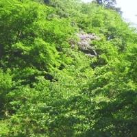 2017 極楽茶屋から紅葉谷に下りブナの新緑を楽しみます。