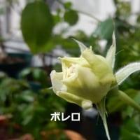 薔薇と今日も逃げた・・・・