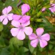 小さめで可愛いピンク  ハマナデシコ(浜撫子)