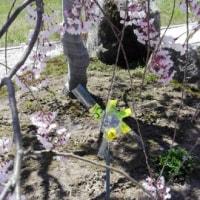 満開の枝垂桜に、モグラが出没!