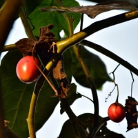 タマリロ ( 木立ちトマト )