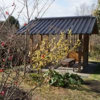 小春日和の公園散歩・・・水仙、ボケ、ロウバイ、冬牡丹、十月桜に迎えられて