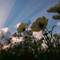 ドラマチック雲と黄色コスモス