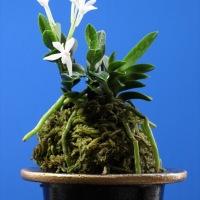フウラン 山採り豆葉(土佐)