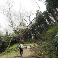 上越市三和区岡田の エドヒガン(風巻神代桜)