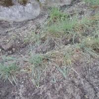 ラッキョウの草