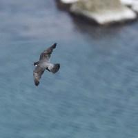 岬からは眼下の海面を飛ぶハヤブサが見られます。