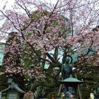今年の安行桜 2017.3.5