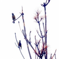 10/25探鳥記録写真(芦屋町の鳥たち:ジョウビタキ、コサメビタキ他)