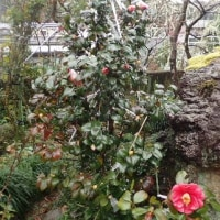 椿~「岩根絞り」咲きました。赤花の椿もあざやかです。/豊洲市場 知事は速やかに判断を