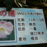 「世界の椿館・碁石」の椿・港の曙(みなとのあけぼの) 2016年12月21日(水)