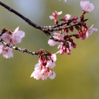 今年の桜はイマイチだ。