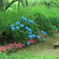 ~ 紫陽花 と にゃん ~ にゃ~にゃ~の日