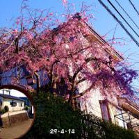 八重枝垂桜
