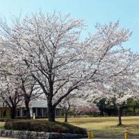 越前陶芸村の桜 2017