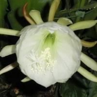 白色のクジャクサボテンが今夜にでも咲きそうです。