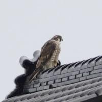 小さな神社の屋根に、ハヤブサがとまっていた。