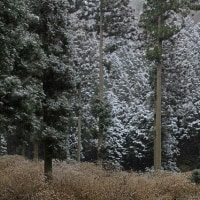 もう一回 雪が降ると三椏が面白く撮れそうです~?