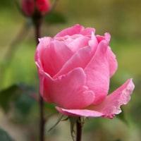 良いお天気の下、残菊ならぬ残薔薇?が綺麗に咲いていました