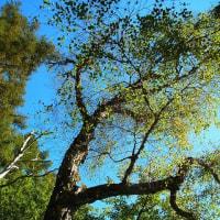 ヤエガワカンバ:八重皮樺(樹木では珍しい絶滅危惧種)