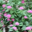 長野県小諸市の北側にある高峰高原では、キバナノヤマオダマキも咲き始めました