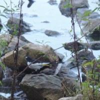 水辺の小鳥!