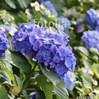 fotolia「紫色の紫陽花 遊歩道」