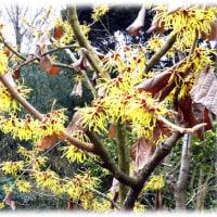 春に先ず咲く…(^^♪早春に咲くことから、「まず咲く」「まんずさく」 黄色の毛糸を結んだような花「マンサク」