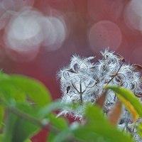仙人草の種