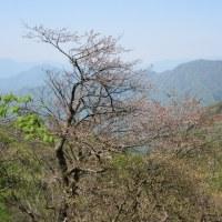 山紀行(春の裏丹沢山系 檜洞丸のツツジは外れ年 2017.5.20)