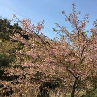 東大山の桜祭り