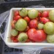今日の収穫 トマト キュウリ オクラ インゲン シシトウ ミョウガ シロウリ