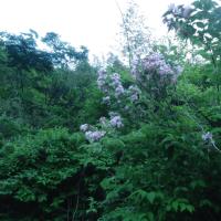 谷ウツギが咲きだした