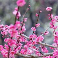 梅は咲きました、春一番も吹きました、春が来ますよ~