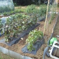 6月20日・プリンスメロン露地とハウス栽培の現在。