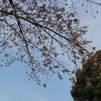 墨堤と上野の桜
