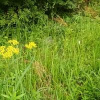 おみなえし、(女郎花)が咲き始めた。 県立三木山森林公園