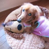 小型犬用ベッド入荷