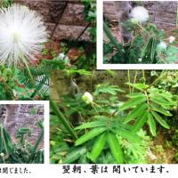 ≪合歓の木・ネムノキ≫の白花