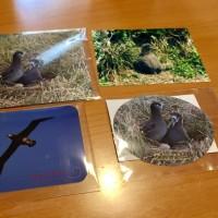 八丈小島で繁殖しているクロアシアホウドリ